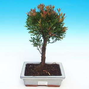 Zimmerbonsai - Syzygium - Pimentovník