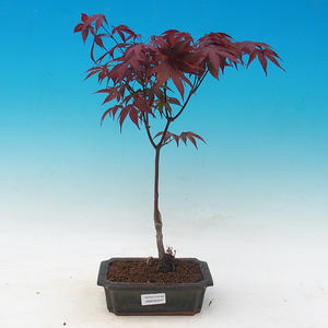 Outdoor-Bonsai - Acer Palme. Atropurpureum-Maple dlanitolistý