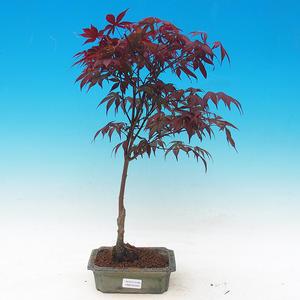 Outdoor-Bonsai - Acer Palme. Atropurpureum-Maple dlanitolistý