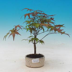 Outdoor bonsai - dlanitolistý klon - Acer palmatum DESHOJO