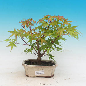 Outdoor-Bonsai - Acer pal. Sango Kaku - Maple dlanitolistý