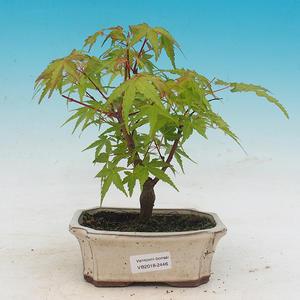Outdoor-Bonsai - Acer pal. Sango Kaku - Maple dlanitolistý