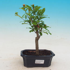 Zimmer Bonsai-PUNICA Granatum Nana-Granatapfel