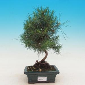 Zimmer Bonsai-Pinus Halepensis-Aleppo-Kiefer