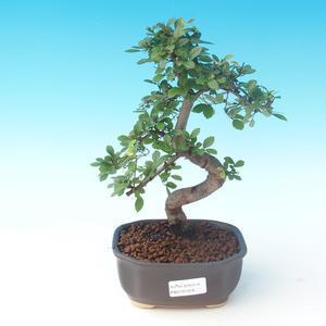 Indoor-Bonsai - Ulmus parvifolia - Kleine Ulme
