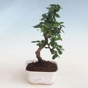Innenbonsai - Carmona macrophylla - Tee fuki PB2191305
