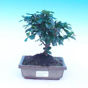 Zimmer Bonsai - Carmona macrophylla - Tee fuki