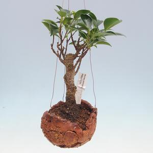Kokedama v keramice - malolistý ficus - Ficus kimmen