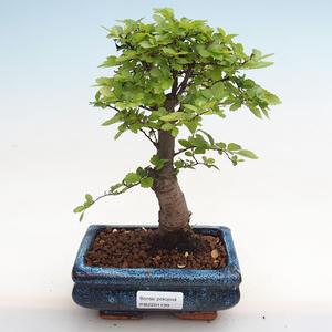 Indoor Bonsai - Zantoxylum piperitum - Pfefferbaum PB2191199