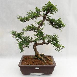 Indoor Bonsai - Zantoxylum piperitum - Pfefferbaum PB2191200
