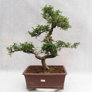 Indoor Bonsai - Zantoxylum piperitum - Pfefferbaum PB2191201