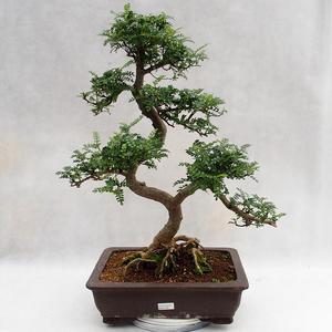 Indoor Bonsai - Zantoxylum piperitum - Pfefferbaum PB2191202