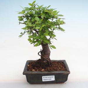 Innenbonsai - Duranta erecta Aurea PB2191209