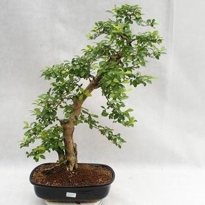 Innenbonsai - Duranta erecta Aurea PB2191211