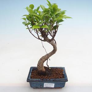 Indoor Bonsai - Podocarpus - Steineibe PB2191213