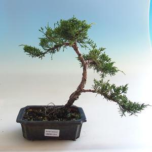 Indoor Bonsai - Ficus kimmen - kleiner Blattficus PB2191214