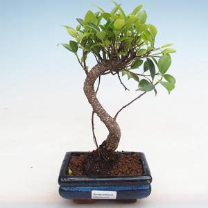 Indoor Bonsai - Ficus kimmen - kleiner Blattficus PB2191215