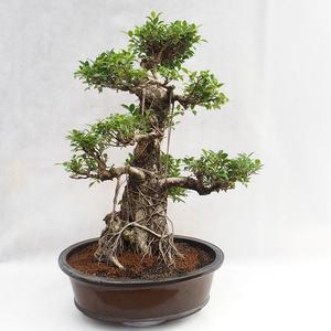Indoor Bonsai - Ficus kimmen - kleiner Blattficus PB2191217