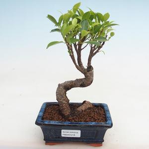 Innenbonsai - Ficus kimmen - kleiner Blattficus PB2191218