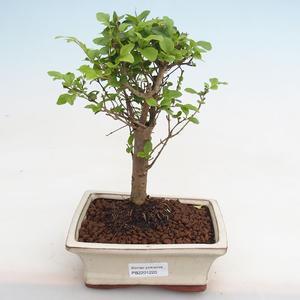 Indoor Bonsai - Ficus kimmen - kleiner Blattficus PB2191220