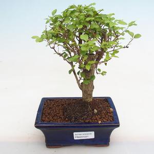 Innenbonsai - Fraxinus angustifolia - Innenasche PB2191221