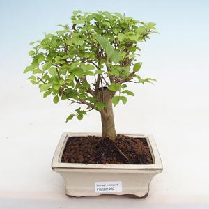 Innenbonsai - Fraxinus angustifolia - Innenasche PB2191222