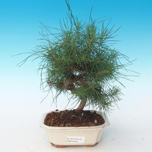 Indoor Bonsai-Pinus halepensis-Aleppo Kiefer 405-PB2191241