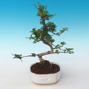 Innenbonsai - Carmona macrophylla - Tee fuki 405-PB2191249