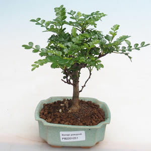 Indoor Bonsai - Ulmus parvifolia - Kleine Blattulme 405-PB2191251