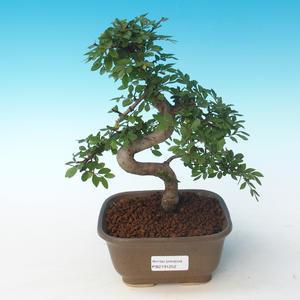 Indoor Bonsai - Ulmus parvifolia - Kleine Blattulme 405-PB2191252
