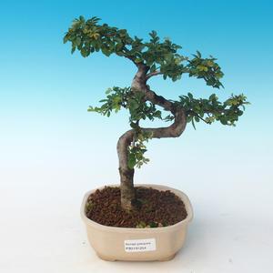 Indoor Bonsai - Ulmus parvifolia - Kleine Blattulme 405-PB2191254