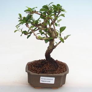 Indoor Bonsai - Serissa foetida Variegata - Baum der tausend Sterne PB2191258