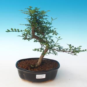 Indoor Bonsai - Zantoxylum piperitum - Pfefferbaum PB2191263