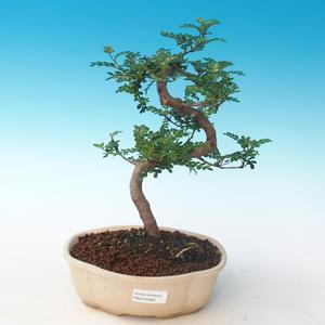 Indoor Bonsai - Zantoxylum piperitum - Pfefferbaum PB2191265