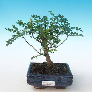 Indoor Bonsai - Zantoxylum piperitum - Pfefferbaum PB2191268