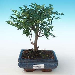 Indoor Bonsai - Zantoxylum piperitum - Pfefferbaum PB2191269