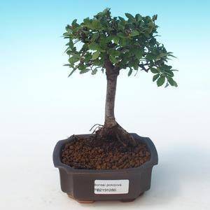 Indoor Bonsai-Ulmus Parvifolia-Kleine Blattulme PB2191280