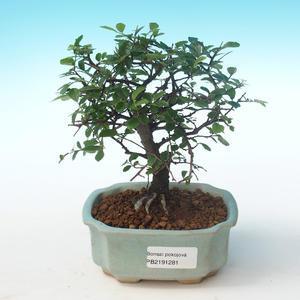 Indoor Bonsai-Ulmus Parvifolia-Kleine Blattulme PB2191281
