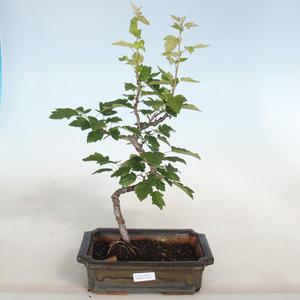 Innenbonsai - Ulmus parvifolia - kleine Blattulme PB2191287