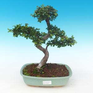 Innenbonsai - Ulmus parvifolia - kleine Blattulme PB2191288