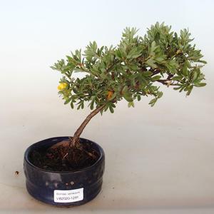 Innenbonsai - Ulmus parvifolia - kleine Blattulme PB2191291