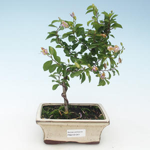 Indoor Bonsai - Grewie - Lavendelstern 414-PB2191341
