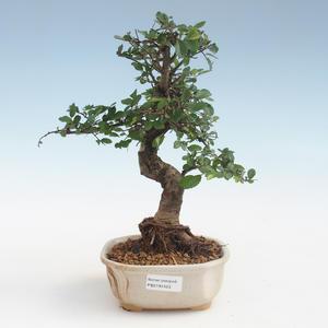 Indoor Bonsai - Ulmus parvifolia - Kleine Blattulme PB2191423