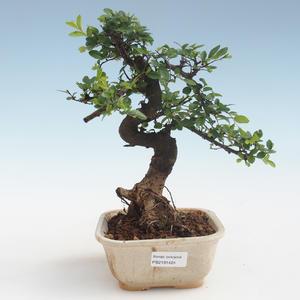 Indoor Bonsai - Ulmus parvifolia - Kleine Blattulme PB2191424