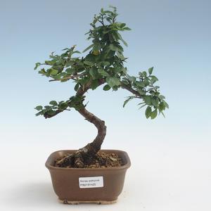 Indoor Bonsai - Ulmus parvifolia - Kleine Blattulme PB2191425