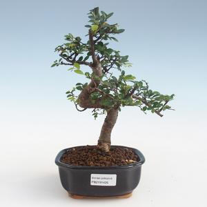 Indoor Bonsai - Ulmus parvifolia - Kleine Blattulme PB2191426