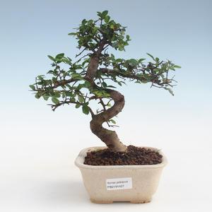 Indoor Bonsai - Ulmus parvifolia - Kleine Blattulme PB2191427