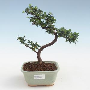 Indoor Bonsai - Ulmus parvifolia - Kleine Blattulme PB2191428