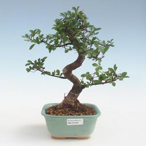 Indoor Bonsai - Ulmus parvifolia - Kleine Blattulme PB2191429