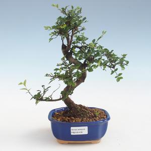 Indoor Bonsai - Ulmus parvifolia - Kleine Blattulme PB2191430
